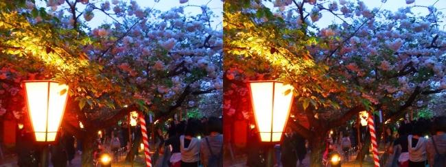 造幣局 桜の通り抜け 夜桜⑪(平行法)