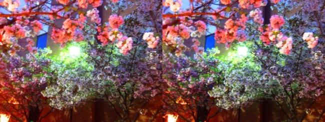 造幣局 桜の通り抜け 夜桜⑩(平行法)