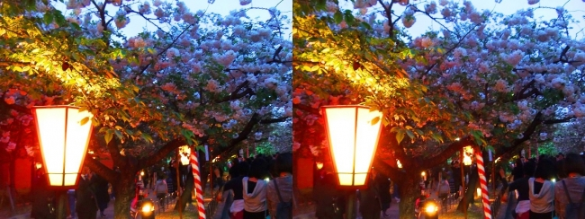 造幣局 桜の通り抜け 夜桜⑪(交差法)