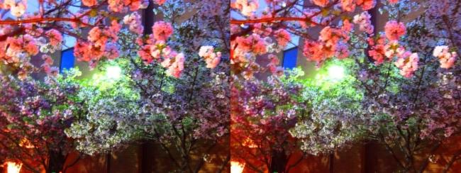 造幣局 桜の通り抜け 夜桜⑩(交差法)