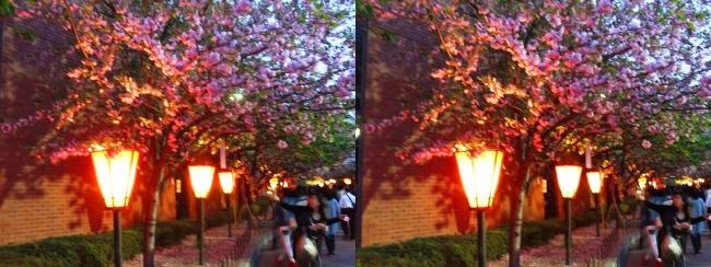 造幣局 桜の通り抜け 夜桜⑨(平行法)