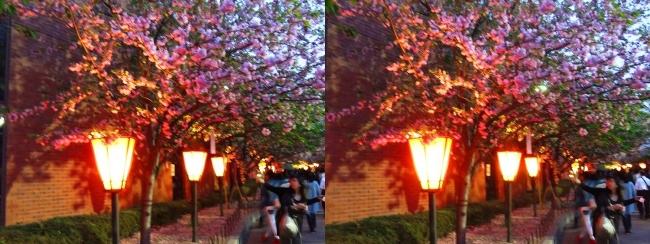 造幣局 桜の通り抜け 夜桜⑨(交差法)
