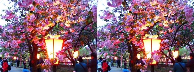 造幣局 桜の通り抜け 夜桜⑧(平行法)