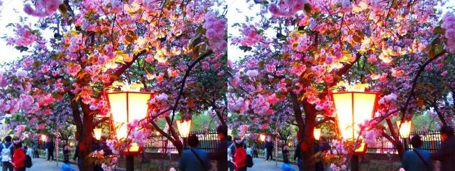 造幣局 桜の通り抜け 夜桜⑧(交差法)