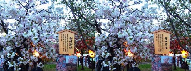 造幣局 桜の通り抜け 夜桜⑦(交差法)