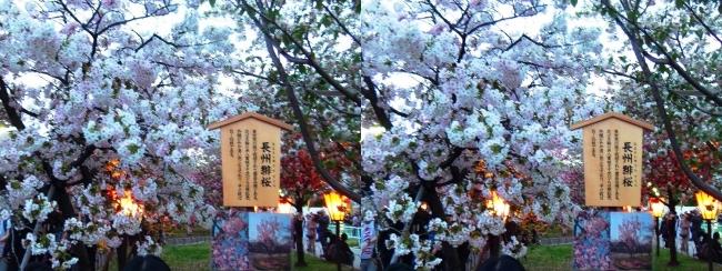 造幣局 桜の通り抜け 夜桜⑦(平行法)