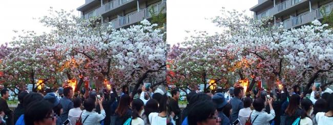 造幣局 桜の通り抜け 夜桜⑥(平行法)