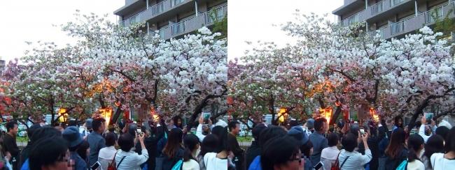 造幣局 桜の通り抜け 夜桜⑥(交差法)