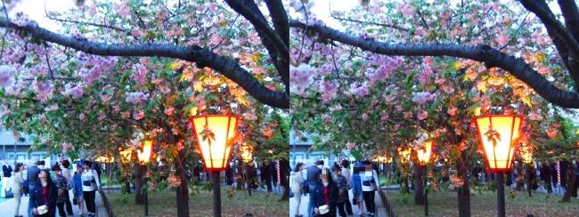 造幣局 桜の通り抜け 夜桜④(交差法)