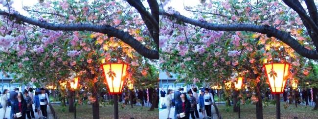 造幣局 桜の通り抜け 夜桜④(平行法)