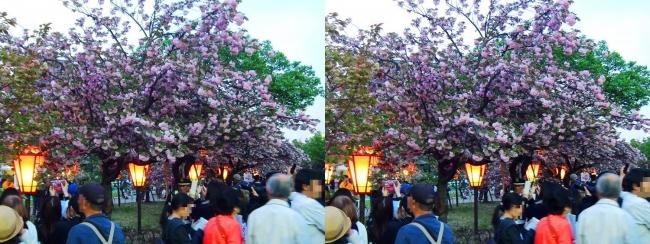 造幣局 桜の通り抜け 夜桜③(平行法)