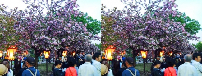 造幣局 桜の通り抜け 夜桜③(交差法)