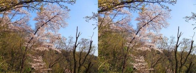 枚岡公園 神津嶽の桜③(平行法)