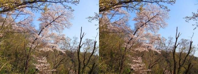 枚岡公園 神津嶽の桜③(交差法)