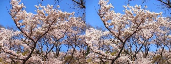枚岡公園 神津嶽の桜②(平行法)