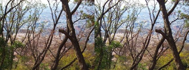 枚岡公園 神津嶽の桜①(平行法)