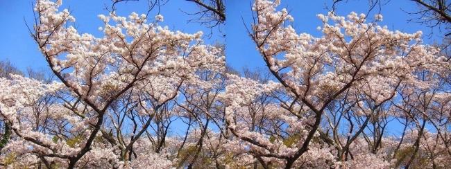 枚岡公園 神津嶽の桜②(交差法)