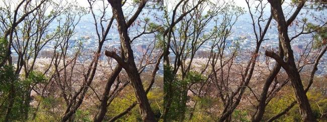 枚岡公園 神津嶽の桜①(交差法)