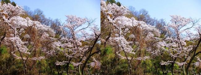 枚岡公園 枚岡山頂の桜②(平行法)