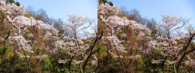 枚岡公園 枚岡山頂の桜②(交差法)