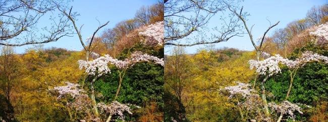 枚岡公園 枚岡山頂の桜①(平行法)