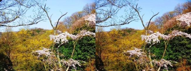 枚岡公園 枚岡山頂の桜①(交差法)