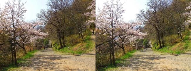 枚岡公園 桜広場④(平行法)
