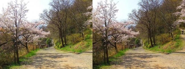 枚岡公園 桜広場④(交差法)