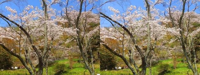 枚岡公園 桜広場③(平行法)