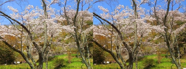 枚岡公園 桜広場③(交差法)