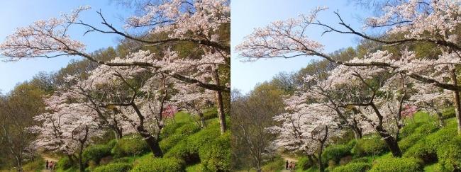 枚岡公園 桜広場②(平行法)