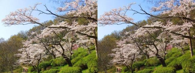 枚岡公園 桜広場②(交差法)