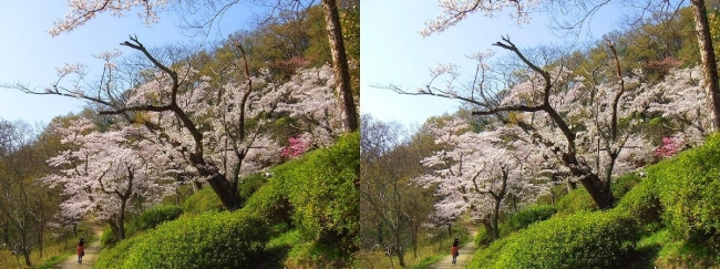 枚岡公園 桜広場①(平行法)