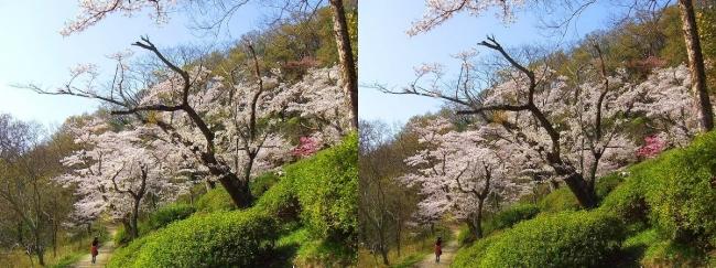 枚岡公園 桜広場①(交差法)