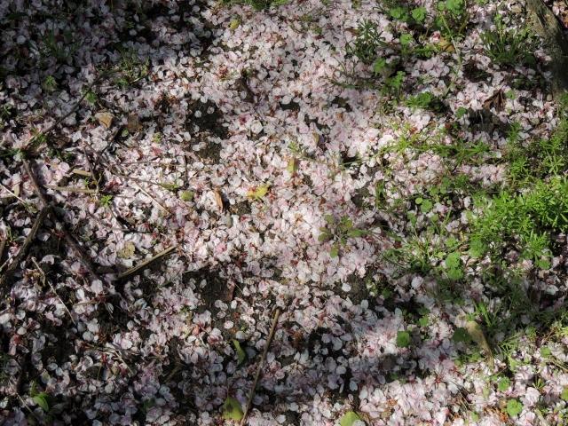 N0547散りし桜