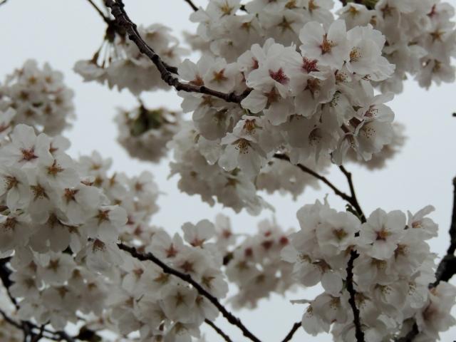 N0585雨と桜