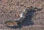 snakes-mating-1491367501.jpg