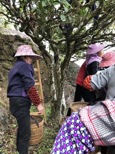 2018年単株茶摘み―2