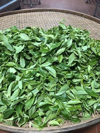 2018単株茶摘み―3