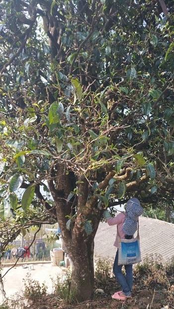 古樹プーアル―1