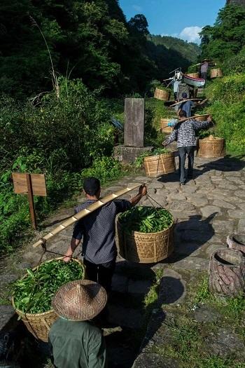 2018年岩茶製茶現場-4