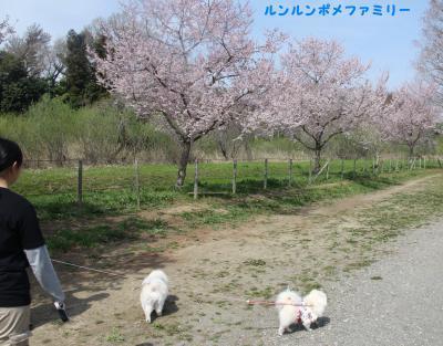 柵の外の桜