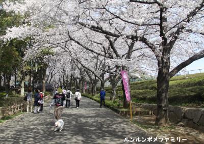 桜のトンネル前から