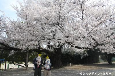 大きな桜4ショット