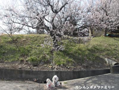 龍顔寺の梅と