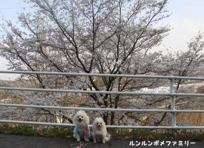 崖の上桜前