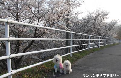 崖の上桜並木
