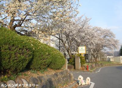 北中体育館前の桜