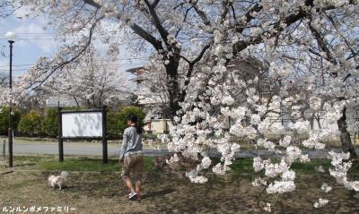 三角公園 桜の下散歩