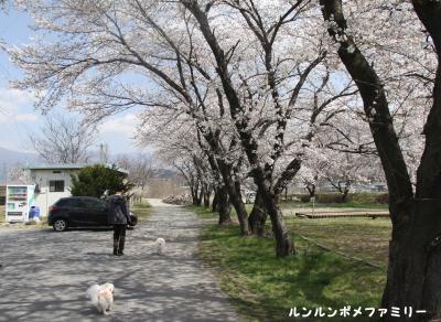 三角公園 桜車へ